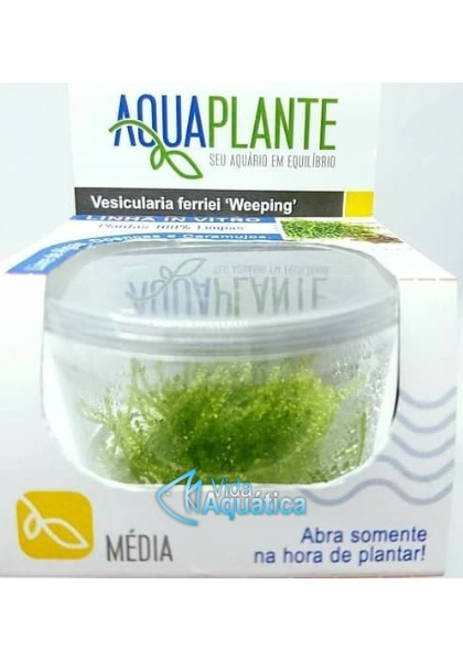 "Vesicularia ferriei '' Weeping'' "" In Vitro """